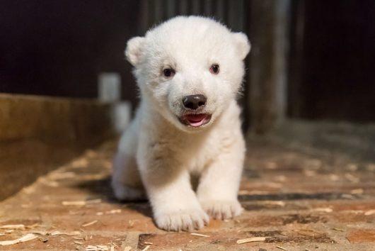 Das kleine Eisbärbaby aus dem Berliner Tierpark braucht noch einen Namen (Bild: Tierpark Berlin)
